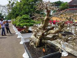Lomba Bonsai Nasional dimasa Pandemi